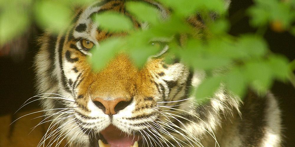 tijger gluurt door een struik